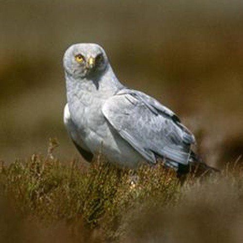 Plight of the Hen Harrier - Part 1, John Gillmore Show March 2013