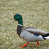 Fenrir - angry duck [1K FOLLOWERS FREEBIE]