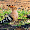 The Hoopoe bird....