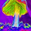 headquarter - pana cyanescens