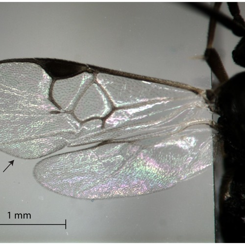 Male Wasp Courtship Song