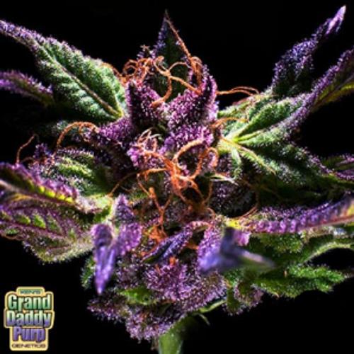 Purple Totes (cut-mp3.com)