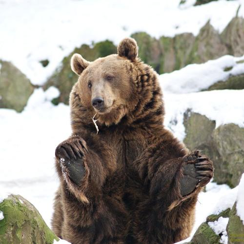 03 Der Bär geht