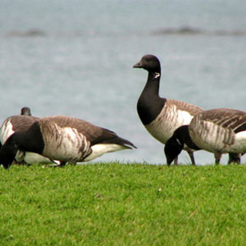 Group of Brent geese + other birds - Schiermonnikoog