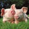 Invictous - Piggies (OUT NOW XENOMORPH)