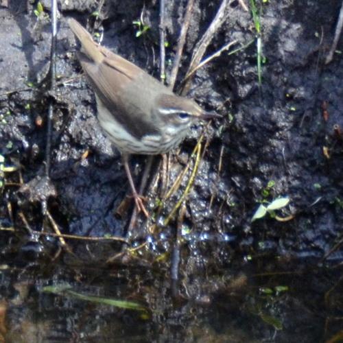 Waterthrush - Return to Normal