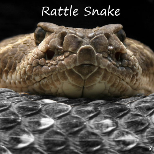 Art Institute - Rattle snake (Pre. Final Acid?)
