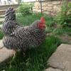 Bonnie Chicken's Egg Song