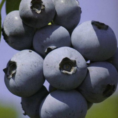 BLUEBERRIES by Robert FROST read by MAN POEMS