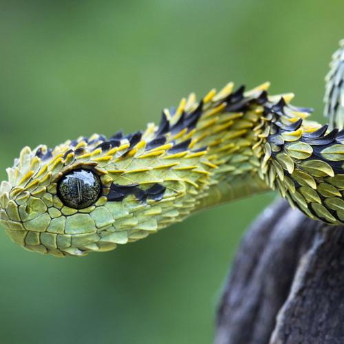 Stralemvp - Viper