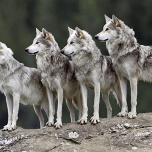Wolves (Rough)