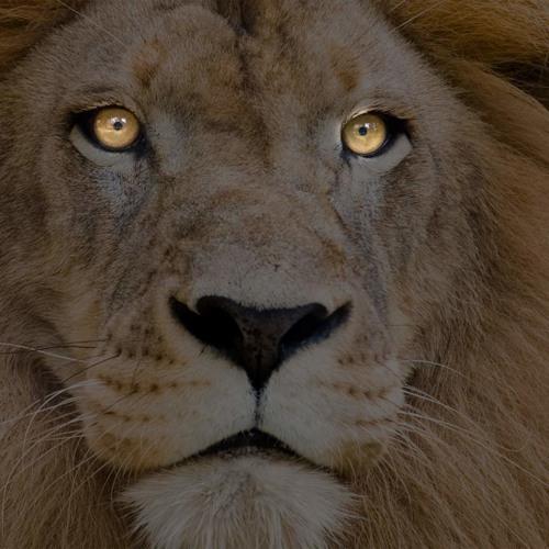 Lion (Original Song) FREE DOWNLOAD