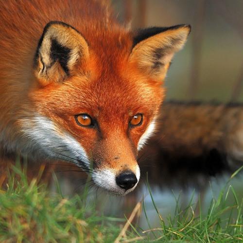 Fox Hunting (Mantius, 2013 St Lucia Soca)