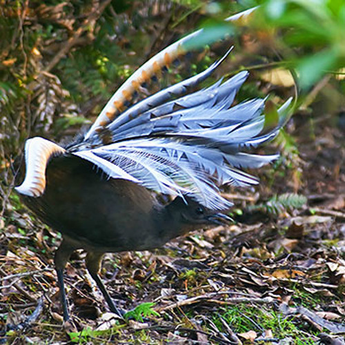 Superb Lyrebird (Menura novaehollandiae) - Songbird Virtuoso