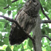 Barred owl call (AAC audio)