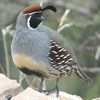 Gambel's Quail during a Thunderstorm