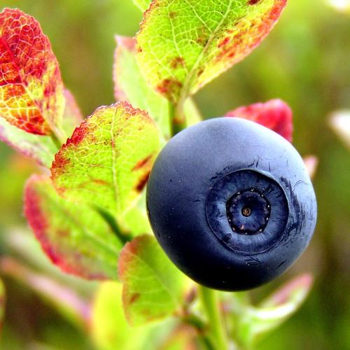 Brrd Blueberry mix001