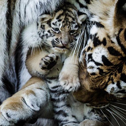 Revenge of the Tiger Babies