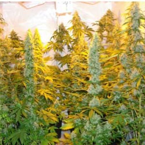 No more weed to smoke