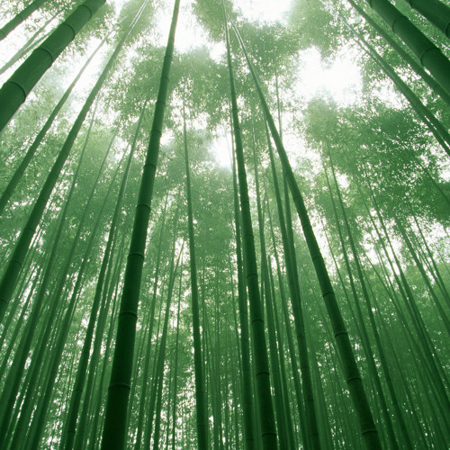 A Walk In The Bamboo Forest