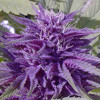 Drake - Purple Flowers Ft. Wiz Khalifa