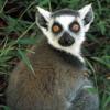 Lemur **PREVIEW**