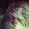 Skunk Ape We Miss You