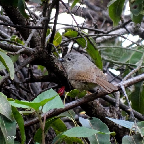 Brown-cheeked Fulvetta (Mahabaleshwar, 30 November - 2012)