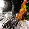 [ Exotic ] Ayam Jago