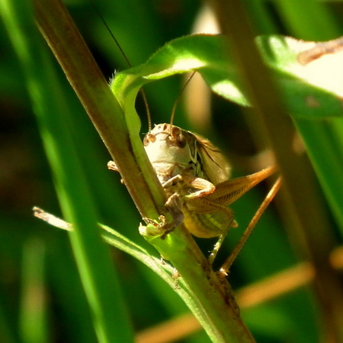 Roesel's Katydid and Spring Field Cricket