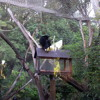 Siamang Gibbon Howling & Screaming (Auckland Zoo, 2013)