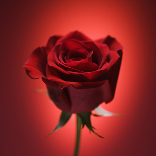 Red Roses For A Blue Lady