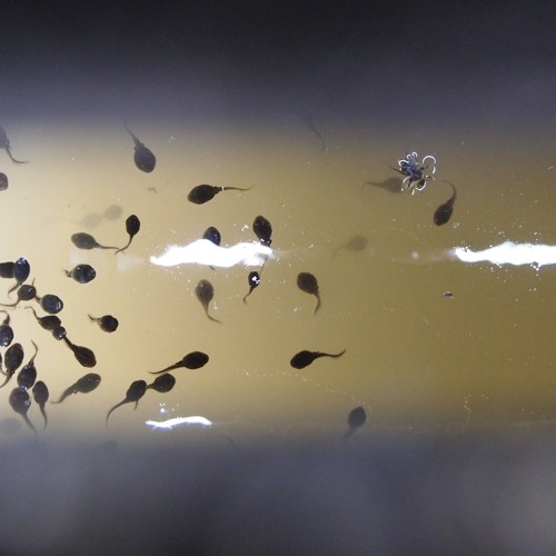 Froghall wharf tadpoles and water beetles