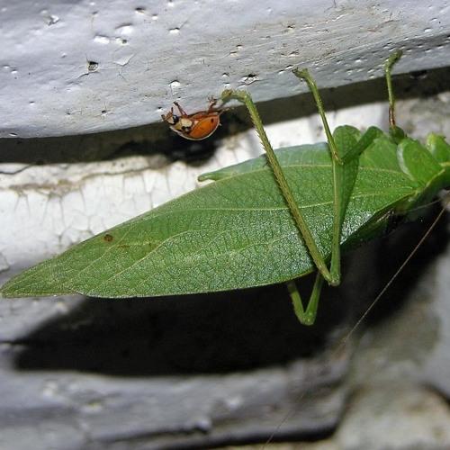 Lesser Anglewing Katydid