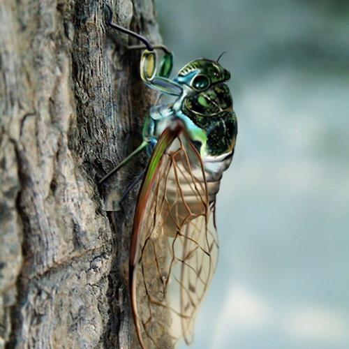 Chirp of Cicadas