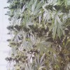Bammer Weed Rbl Posse at Ulupo