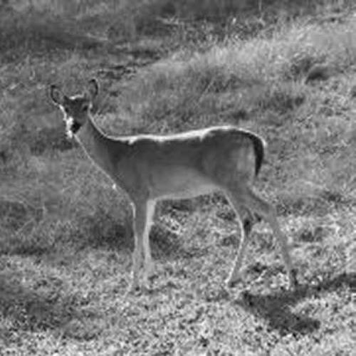 Bonzai Bambi