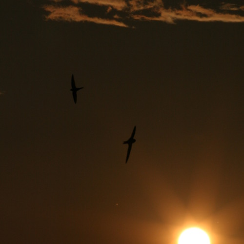MACRIMA - Schwalbenflug am Abendhimmel
