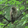 T2177 Barred Owl juvenile call and chatter EDIT for Soundcloud