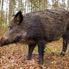 Tusk - Hunting Irelands Wild Boar