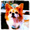 Maxfield Papillon™ - a small dog with a big purpose™ Audio Biography written by Jen Massing