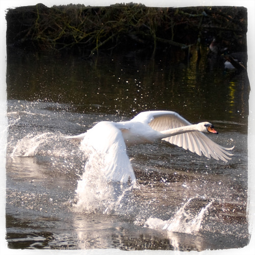 Kindly Sidled Breadcrumbs (Swans Escape Part I)