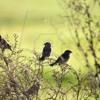 il canto degli uccelli