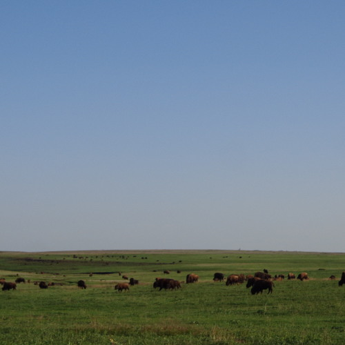 Buffalos in the tall-grass prairie in Oklahoma, growling, grunting, sniffing and eating some food