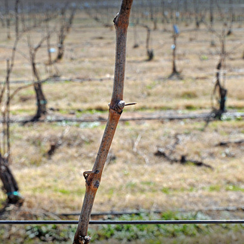 Late Spring Freeze Harms Texas Wine Makers