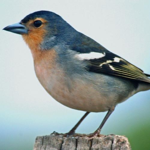 Das Vogellied
