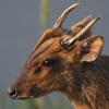 DISTANT REEVES' MUNTJAC (Barking Deer) CALLS IN THE EARLY HOURS