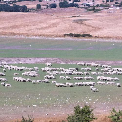 Sheep Swing 11th August 2013