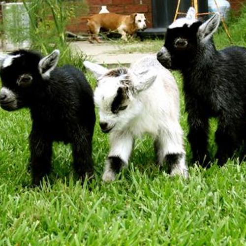 Goats Saying Hay  at Dublin Zoo
