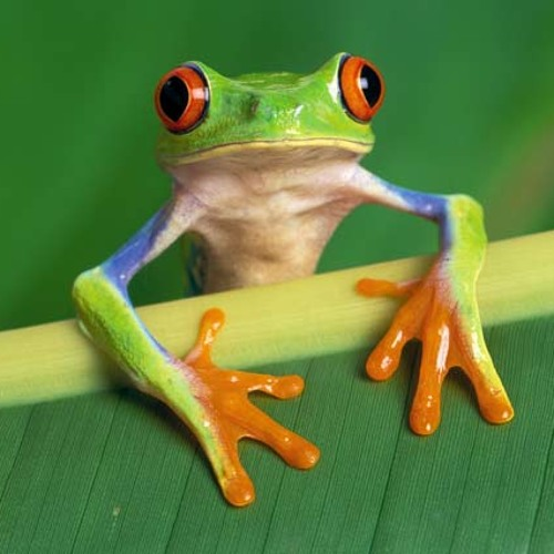 Robby Focc - Tree Frog